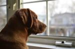 Sunny The Labrador Retriever Dog